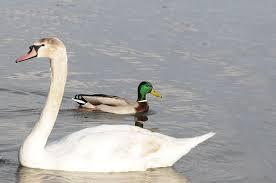 Vilain canard trouve une nouvelle famille